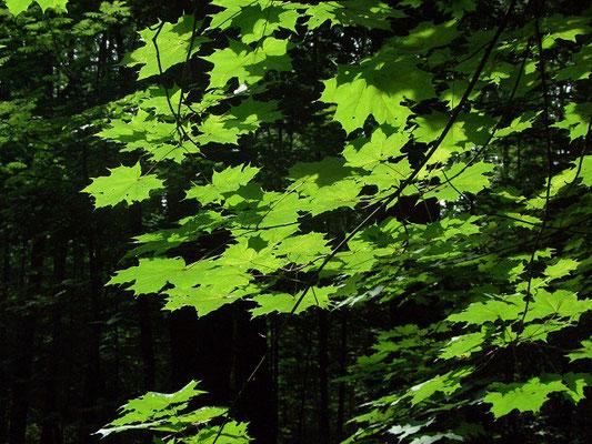 Преобладание видов деревьев с широкими листовыми пластинами и дало названию этому типу леса - широколиственый.
