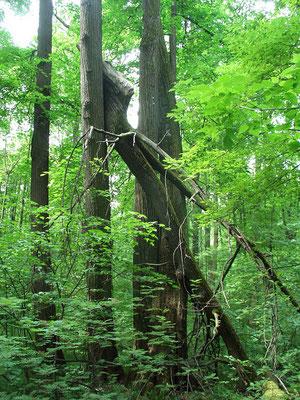Деревья, сломанные ветром на высоте нескольких метров от земли.