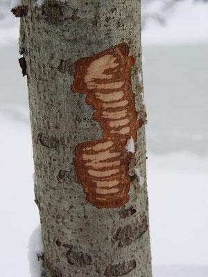 Следы резцов бобра на коре серой ольхи.