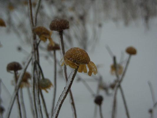 Цветы, покрытые ледяным панцирем после ледяного дождя.