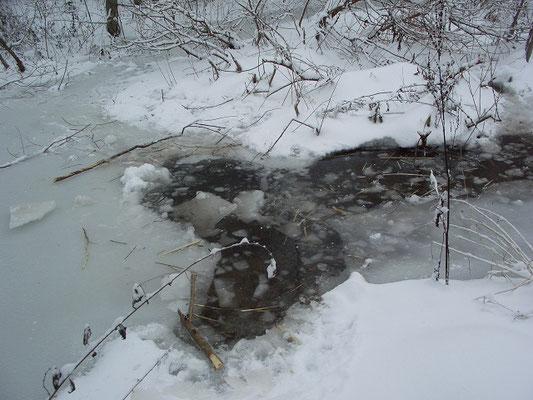 Полынья, пробитая бобрами рядом с построенной зверьками плотиной. Видны следы кормёжки.