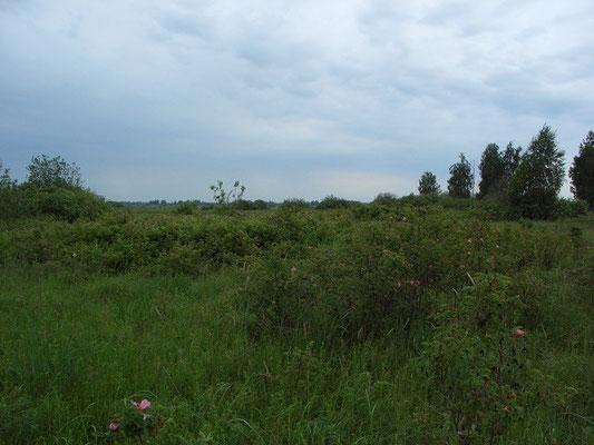 Заросли шиповника высотой по плечо тяготеют ближе к руслу реки. Виноградовская (Фаустовская) пойма.