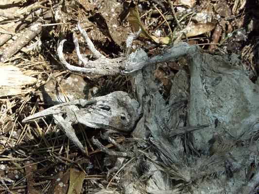 Часть птенцов в колонии погибает и оказывается на земле. Как и все вокруг, трупы покрываются помётом и высыхают, но почти не разлагаются.