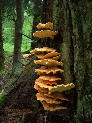 Трутовик серно-жёлтый. В начале июня очень крупные плодовые тела появляются на стволах лиственных пород деревьев и  изредка на елях.