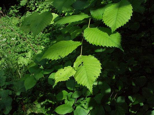 Лещина высотой до 5 м формирует нижний ярус широколиственного леса.