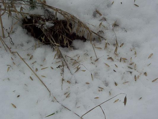 Следы кормёжки юрков на неубранном овсяном поле.