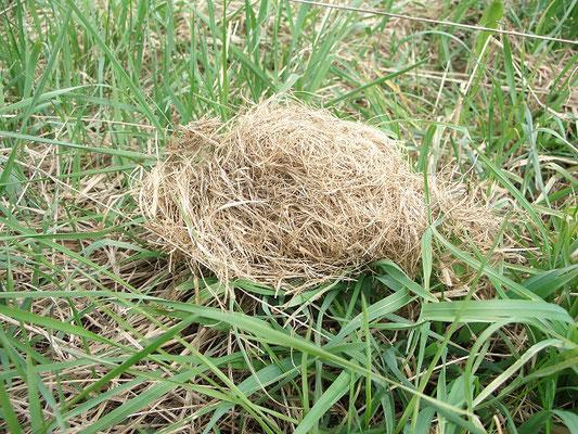 Зимнее гнездо полёвки, оставшееся на поверхности земли после схода снега.