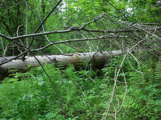 Упавший поперёк дороги ствол ели. Этой лесной дорогой не пользовались более 15 лет.