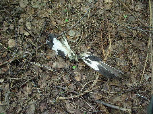 Всё, что осталось от сороки. Хищников в лесах много, но чаще встречаешь следы их охоты.