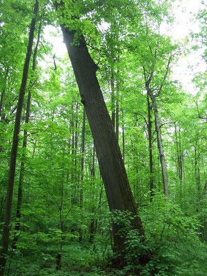 Старых упавших, сломанных или наклонившихся деревьев относительно немного.