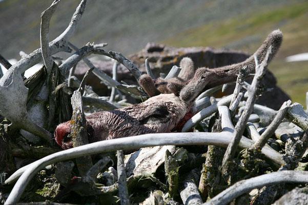 Голова оленя с пантами на жертвенном месте, Полярный Урал.