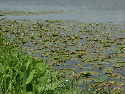 Поверхность многих стариц, в которых сохраняется достаточно воды, затянута жёлтыми кувшинками.
