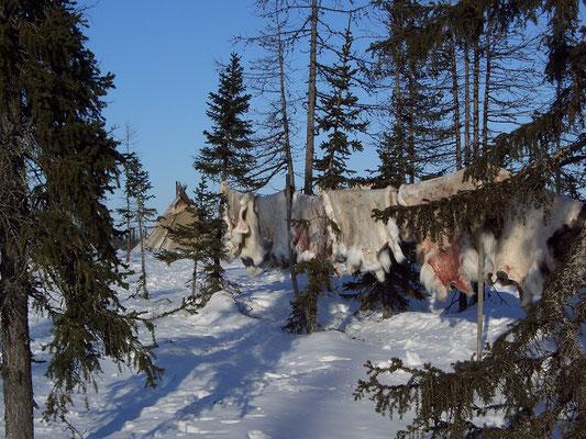 Оленьи шкуры, Южный Ямал.