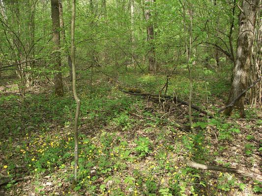 Орешник-лещина образует подлесок в светлом берёзовом лесу.