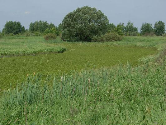 """Полностью обмелевшая и заросшая старица в лугах. На таких """"озёрах"""" расположены гнездовые колонии чёрных крачек."""