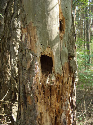 Мелкое дупло, выдолбленное дятлом в 1,5 м от земли в еловой колоде. Слишком мелкое, чтобы в нём загнездились синицы или другие дуплогнёздники. Внутри можно заметить орех лещины, поеденный лесной мышью.