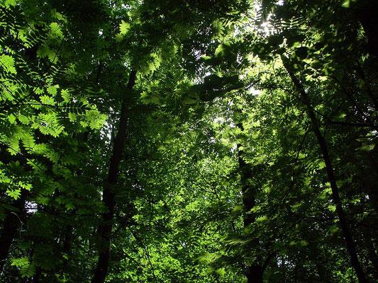 Полог широколиственного леса густой и пропускает мало солнечных лучей. Благодаря этому, а также высокому уровню испарения влаги листьями деревьев, под пологом значительно прохладнее, чем за опушкой.