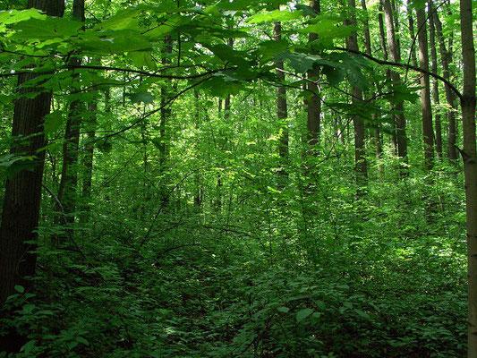 Тогда как на значительных участках леса подлесок разреженный, а земля покрыта осоками и снытью, кое-где встречаются густые заросли из черёмухи, рябины и бересклета.