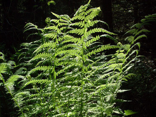 Папортник, вырастающий высотой до бедра, тяготеет к увлажнённым и тенистым участкам леса.