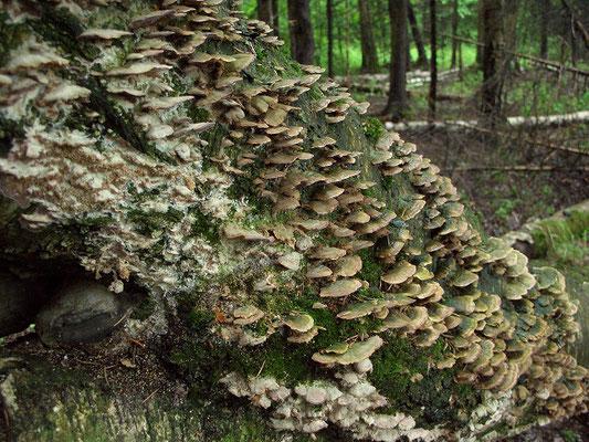 Как и в любом лиственном лесу, грибы-паразиты встречаются на живых и мёртвых деревьях особенно часто.