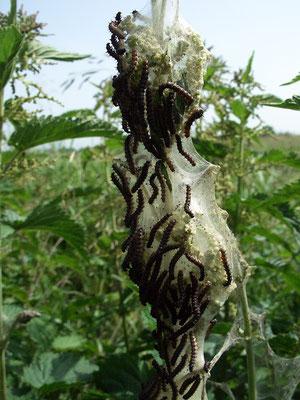 Выводок гусениц крапивницы.