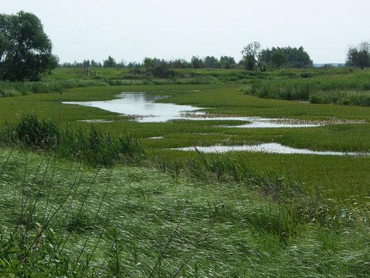 Мелкое озеро-старица с почти полностью заросшим осокой зеркалом. Любимое место охоты серых цапель.