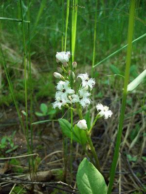 Вахта трёхлистная - один из представителей флоры верхового сфагнумного болота.