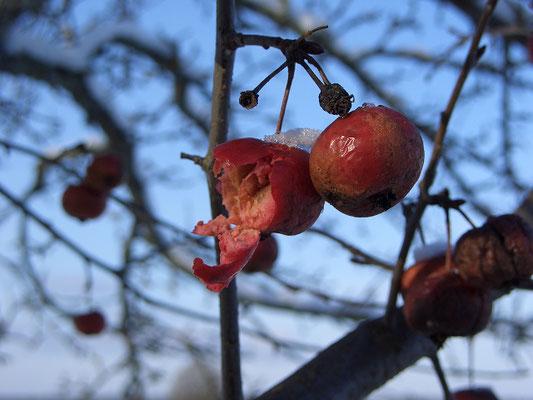 Мороженые яблоки, поклёванные дроздами-рябинниками.