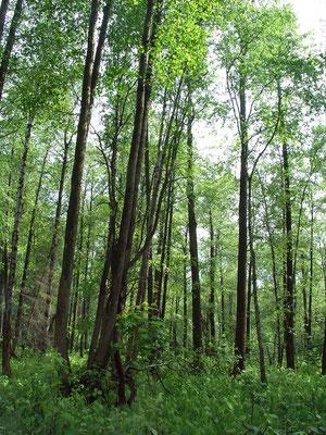 Разреженное чернолесье из 20-25-метровых чёрных ольх, растущих на заболоченной почве торфяника.