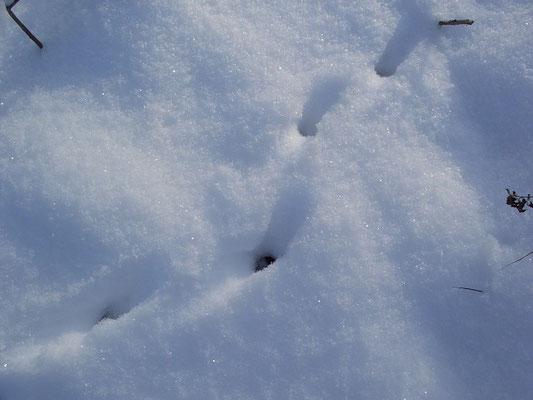 Лисий нарыск по рыхлому, пушистому снегу.