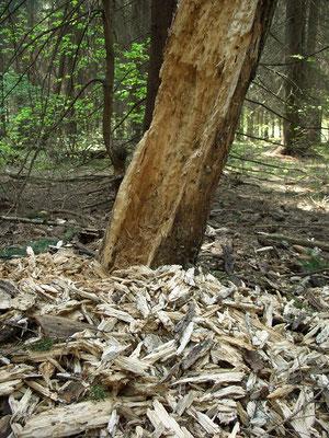 Следы кормёжки большого чёрного дятла, или желны. Поражают своими масштабами.