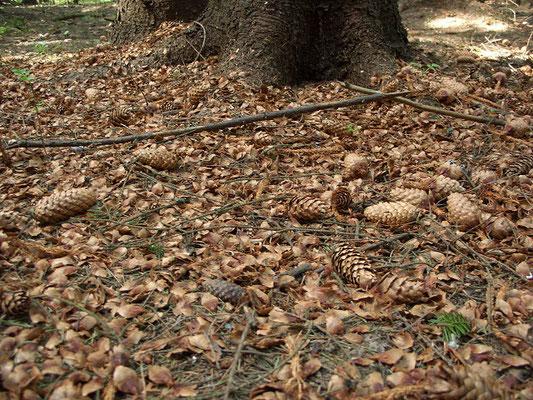 """Зимняя """"кузница"""" большого пёстрого дятла. Помимо шишек, разбитых птицей, в груде под деревом заметны шишки, """"обстриженные"""" белкой."""