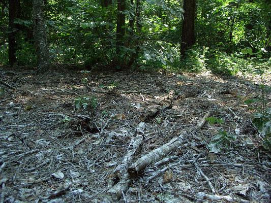 Под деревьями или группами деревьев, на которых расположены гнёзда, лесная подстилка практически мертва из-за помёта.