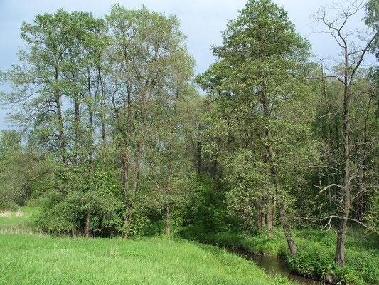 Чернолесье (ольха чёрная) в пойме реки Серебрянка.