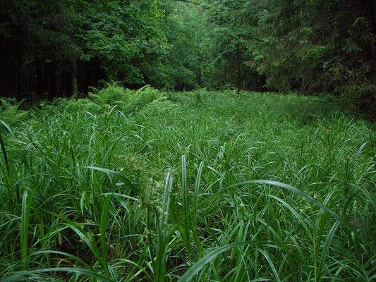 Заболоченная пойма ручья в высокоствольном лесу заросла осокой высотой почти по пояс.