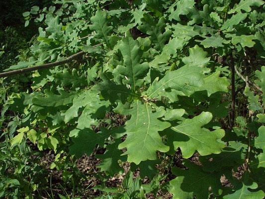 Дуб - одна из составляющих древесных пород в широколиственном лесу.