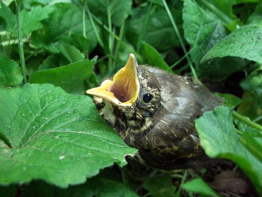 Слёток дрозда-рябинника, покинувший гнездо. Не летает.