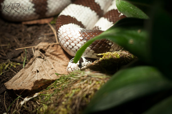 0 1 Lamp G Californiae Kk Snakess Webseite