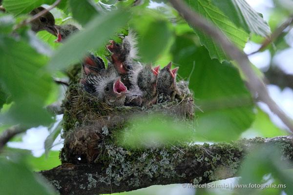 Junge Buchfinken