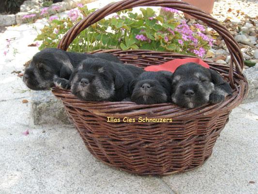 cachorros sal y pimienta en una cesta