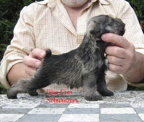 cachorro schnauzer miniatura negro