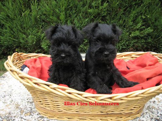 cachorros negros