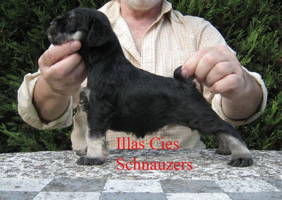 schnauzer miniatura cachorro negro y plata illas cies
