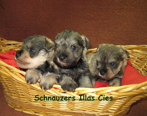 cachorros schnauzer miniatura sal y pimienta en la cesta