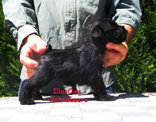 schnauzer miniatura cachorro negro Illas Cies