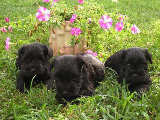 cachorros negros federica