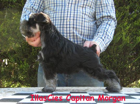 schnauzer miniatura negro y plata Illas Cies Capitan Morgan