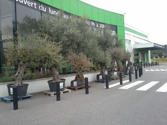 Wenn im Baumarkt Olivenbäume verkauft werden ists ein deutliches Zeichen für den Süden