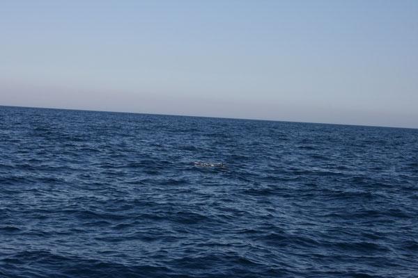 und zum ersten Mal sehen wir Delfine von unserem Boot aus (Bildmitte)