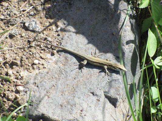 Lizardking